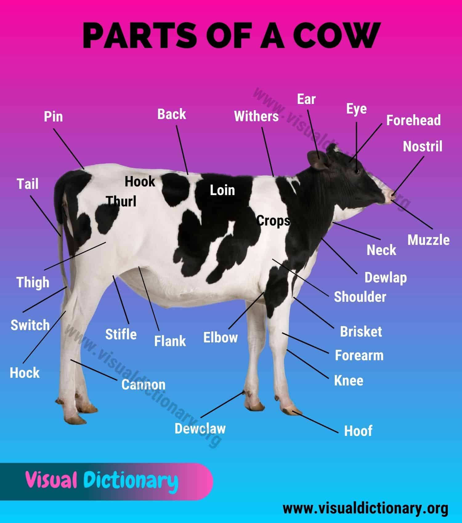 Cow Anatomy
